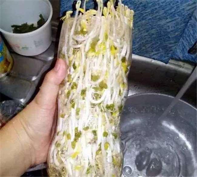 沒想到一個寶特瓶就能種出全家人吃的豆芽菜,重點是作法超簡單!