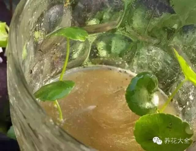 常識| 一盆變兩盆,銅錢草的繁殖方法就這麼簡單!