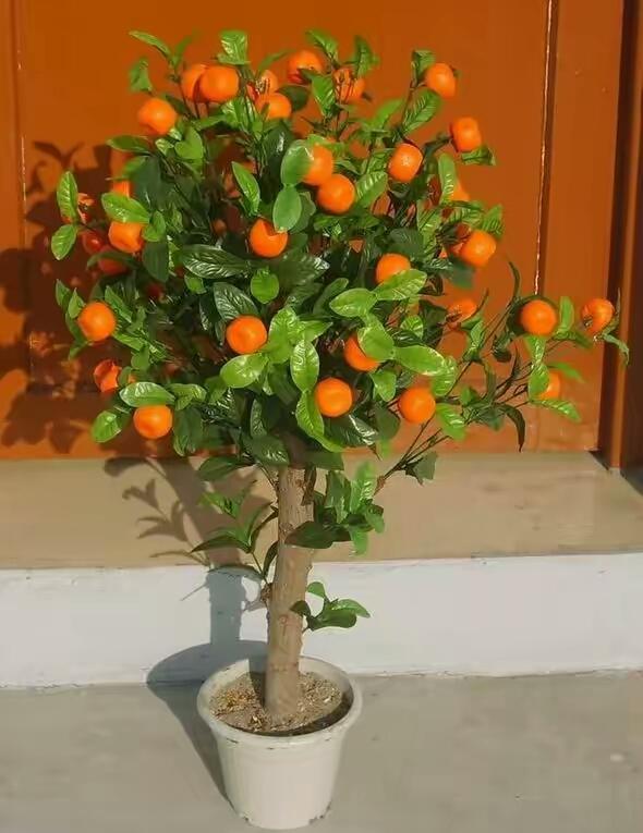大年初一賞金桔!來看看金桔樹盆栽怎麼養~