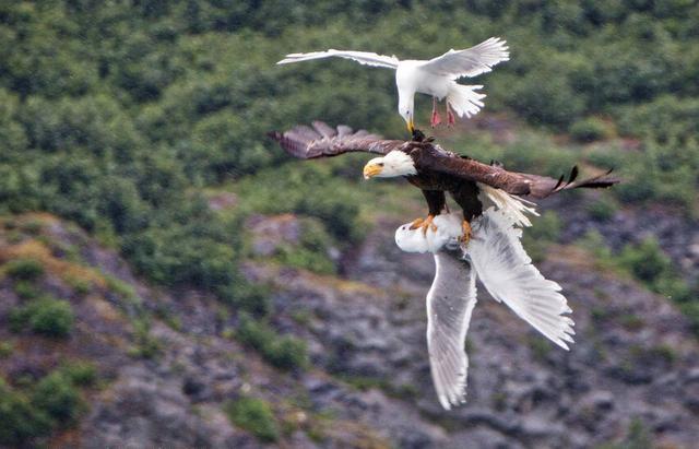 海鷗慘被老鷹叼走,同伴一起解救,猛啄老鷹,此情此景讓人動容!