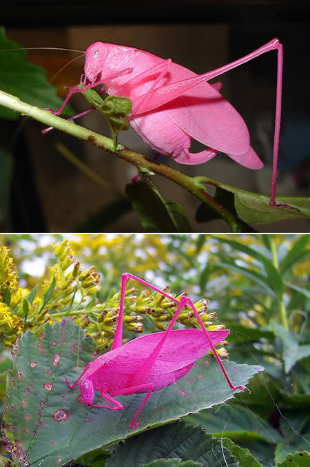 And finally, an incredible pink katydids with erythrism. Erythrism is a genetic condition that results in unusual reddish pigmentation of the animal. Most don't survive to adulthood because their vivid color makes them more visible to predators.