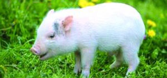 精彩語句:我可以像豬一樣生活,但,永遠都不會,像豬一樣快樂!