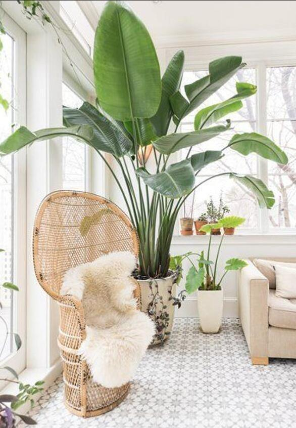 適合室內養護的9種大型盆栽,你家養了哪種?