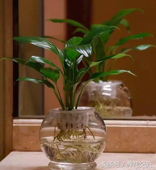 這5種植物丟衛生間兩個月不用管,沒想到長得枝繁葉茂