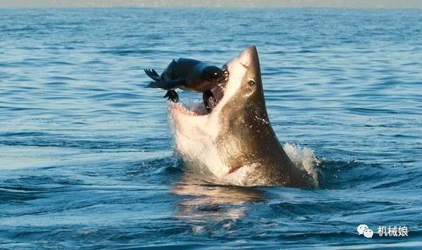 鯊魚為什麼會害怕海豚? 海豚真的很危險嗎?