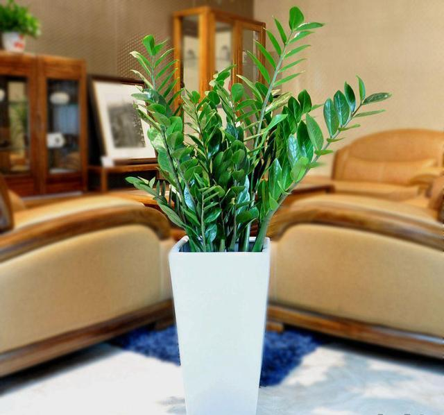 發財樹、幸福樹、金錢樹這樣修剪才會長的更加茂盛