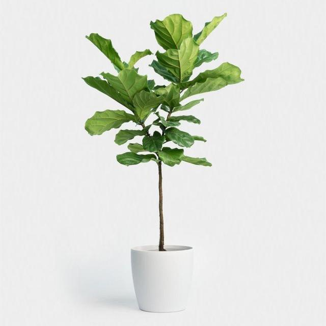 網紅綠植——琴葉榕,一種能hold住所有家居風格的綠植