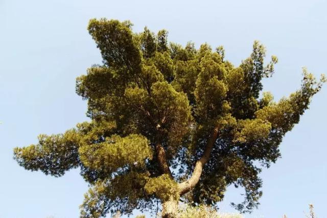 家中有桂,門大戶對,這5種驅邪樹木最鎮宅