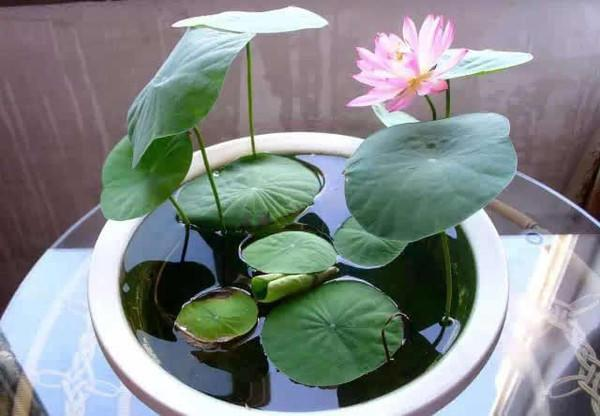 從古至今都愛蓮,養成盆景觀賞價值高,一顆種子就能活