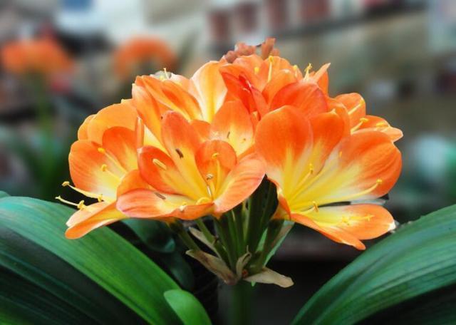 立秋過後,君子蘭換盆好時機,注意這幾點,冬季定開花