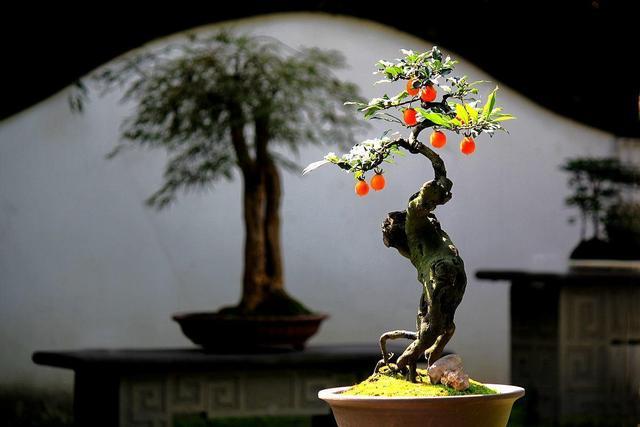"""盆景養了幾年,盆里長出黃蘑菇,這是一個""""信號"""",一定要重視"""