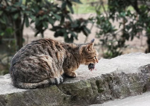 貓抓老鼠的秘密,寵物貓為啥不會抓老鼠? 貓:我媽沒教