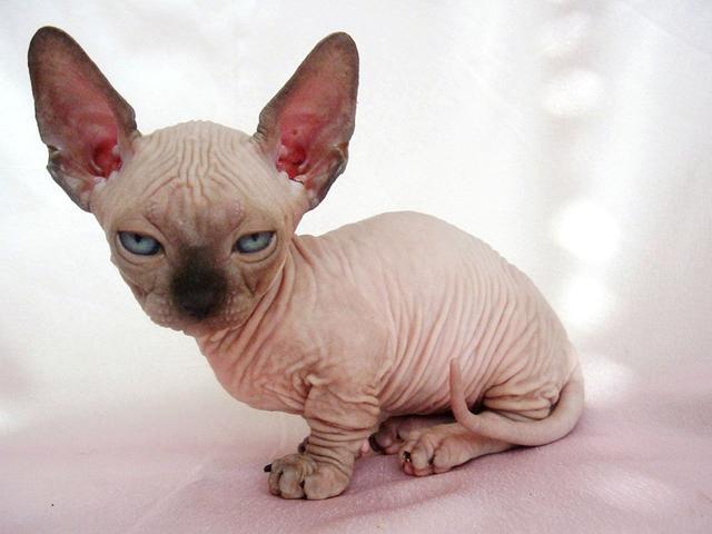 """剃毛後的貓科動物,都沒了漂亮花紋,為何只有老虎""""一枝獨秀"""""""