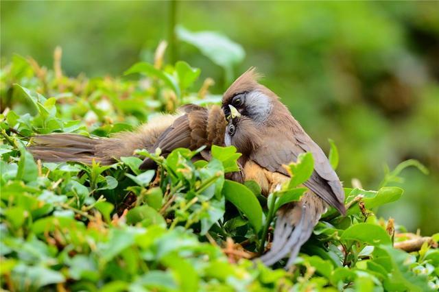 這種鳥頭像老鼠,經常拖著個長尾巴,懸在樹上盪鞦韆
