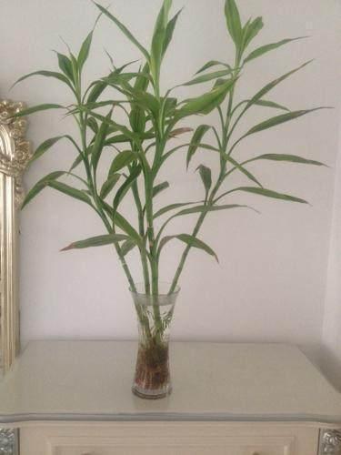 水培富貴竹,要放對地方,大吉大利不說,關鍵還能旺人