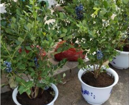 陽台種盆藍莓,做好這些,掛果1000顆,吃不完的藍莓!