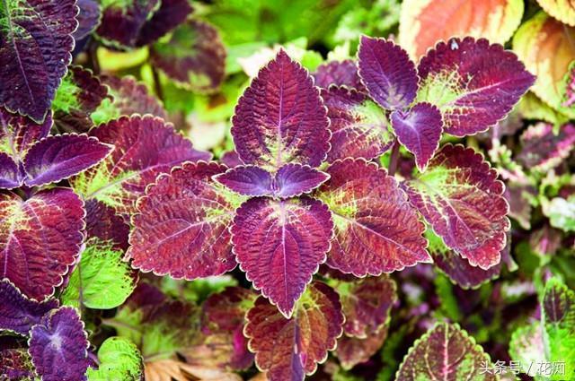 葉比花美的彩葉草,好養易活,種一次,年年都有五彩繽紛葉片賞!