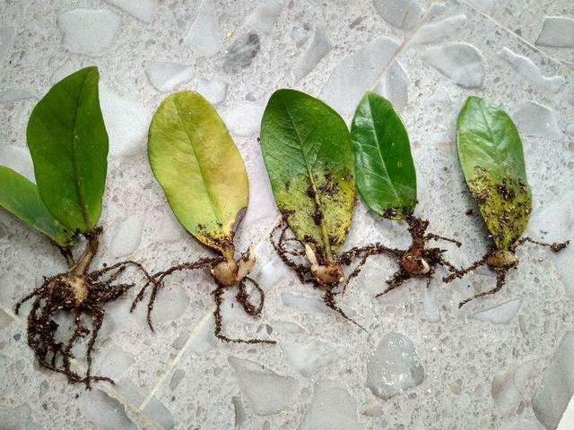 金錢樹掰個葉子放水里,一個週就冒新根,都可以拿出去賣了!