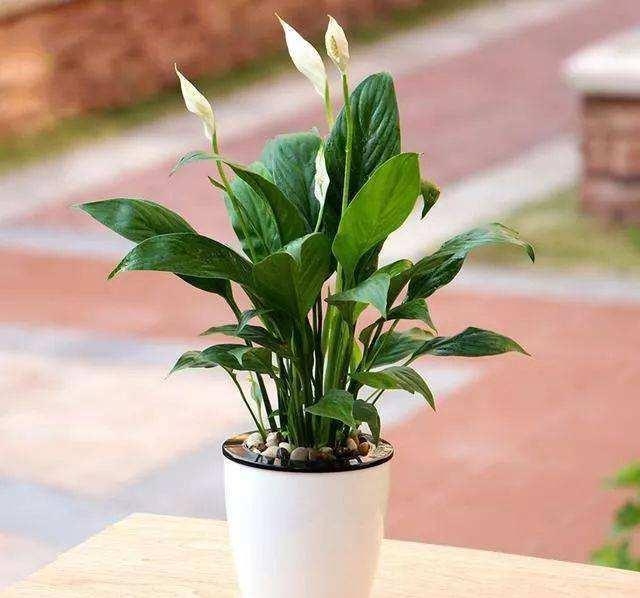 葉片寬大翠綠,花朵潔白高雅,家裡養好一盆白掌,更能突顯氣質!