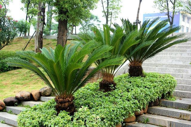 壽命長葉片翠綠,居家熱門盆景鐵樹,你真的了解它嗎?