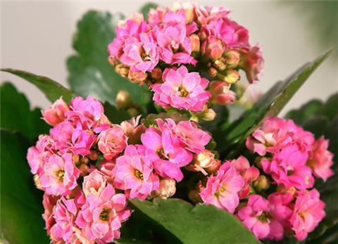 養長壽花,用幾個小妙招,一年四季都開花!