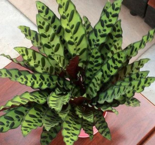 天一冷竹芋類植物就乾葉捲葉? 這幾個養殖小技巧不可忽視