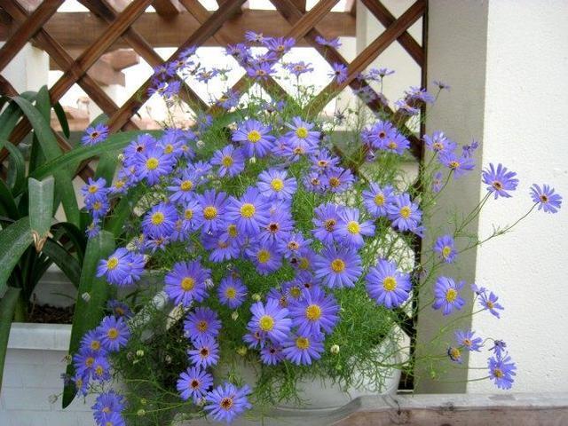 此花比綠蘿還好養,花色清新秀麗,是陽台盆栽佳品,春季養花選它