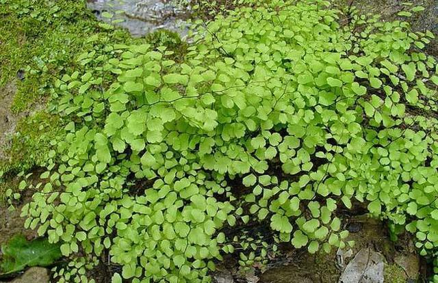 鐵線蕨怎麼養才長得好家養鐵線蕨注意這幾點越長越旺盛