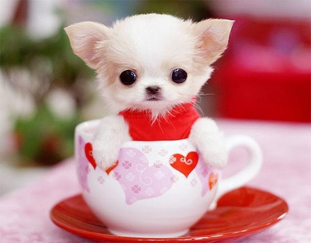 巴掌大的茶杯犬,可愛到一身病,但沒錢真的養不起這種狗狗